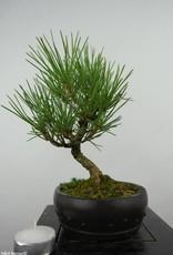 Bonsai Shohin Japanese Black Pine, Pinus thunbergii, no. 6007
