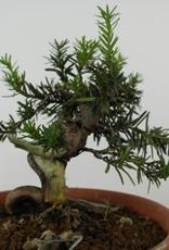 Bonsai Japanese yew, Taxus cuspidata, no. 6017