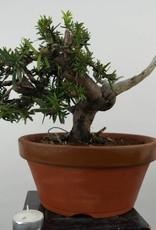 Bonsai Japanese yew, Taxus cuspidata, no. 6019