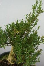 Bonsai Boxwood, Buxus sempervirens, no. 6085