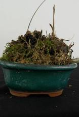 Orchid, Pleione formosana, no. 6103