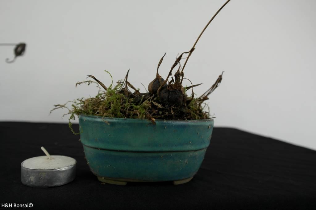 Orchid, Pleione formosana, no. 6104