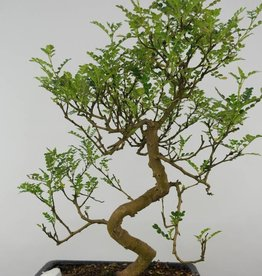 Bonsai Japanese Pepper, Zanthoxylum piperitum, no. 6116