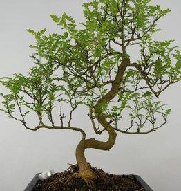 Bonsai Japanese Pepper, Zanthoxylum piperitum, no. 6118