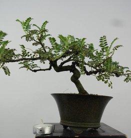 Bonsai Shohin Osteomeles subrotunda, no. 6150