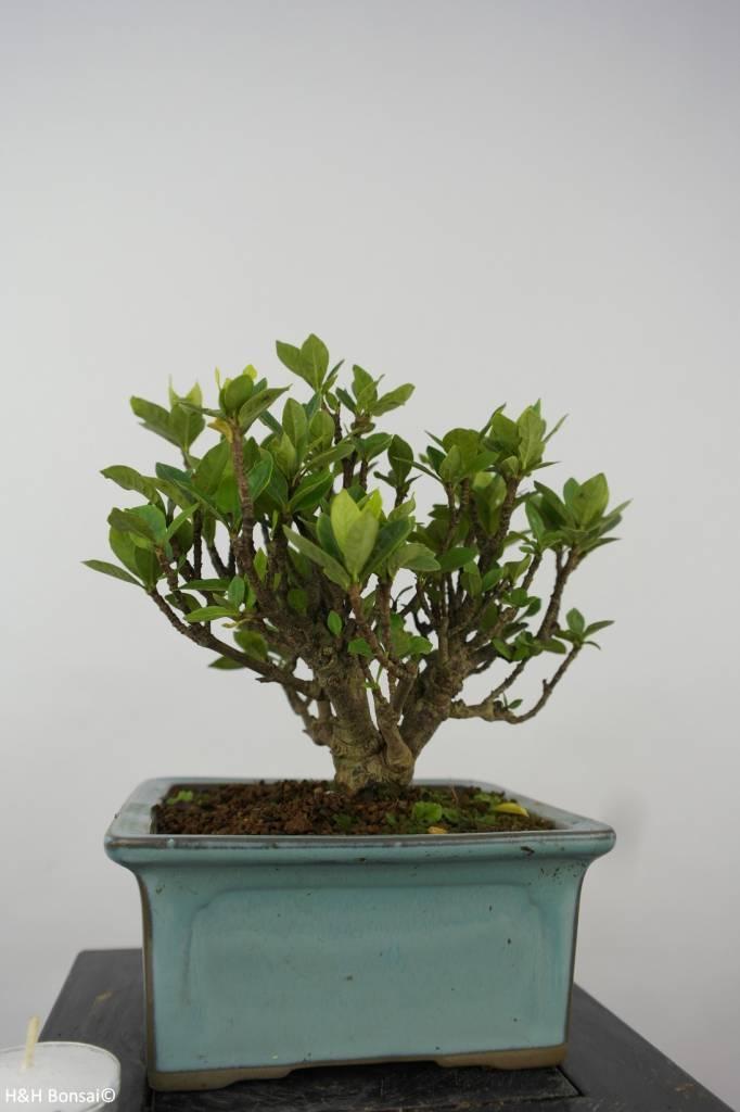 6152 Bonsai Shohin Gardenia, No.