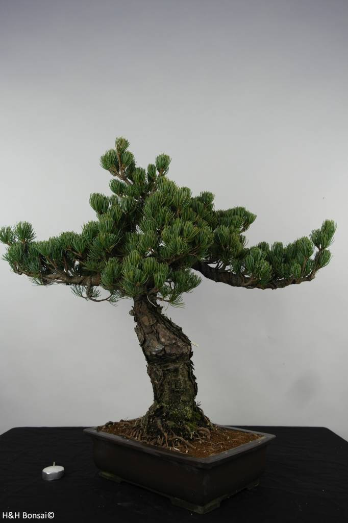 Bonsai White pine, Pinus parviflora, no. 6156