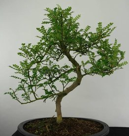 Bonsai Japanese Pepper, Zanthoxylum piperitum, no. 6190