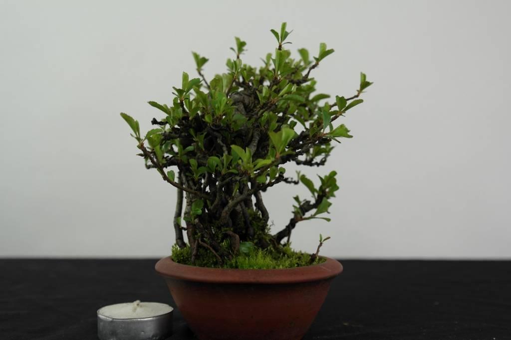 Bonsai Shohin Flowering Quince, Chaenomeles speciosa, no. 4441