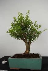 Bonsai Syzygium sp. , no. 6253