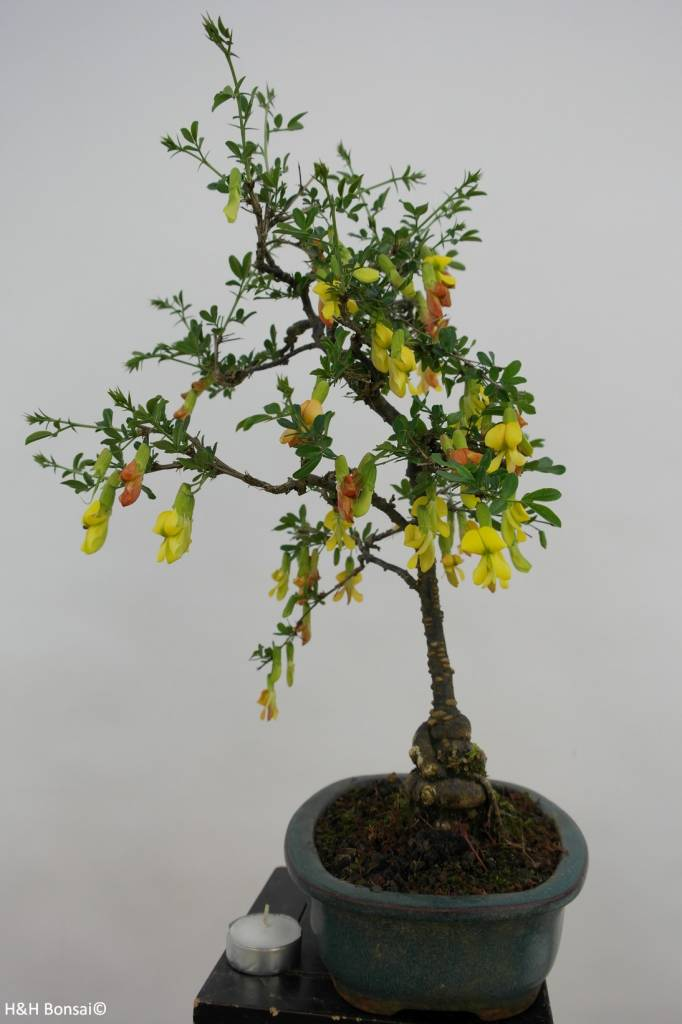 Bonsai Siberian pea-tree, Caragana sp., no. 6398