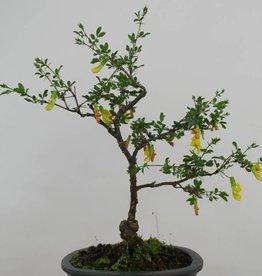 Bonsai Siberian pea-tree, Caragana sp., no. 6399