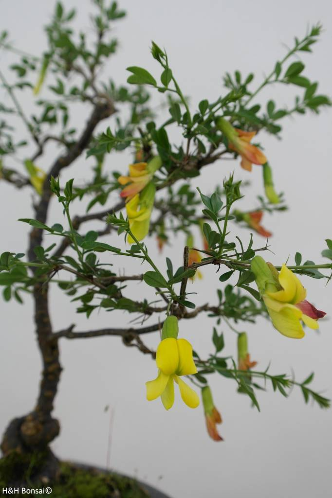 Bonsai Siberian pea-tree, Caragana sp., no. 6399