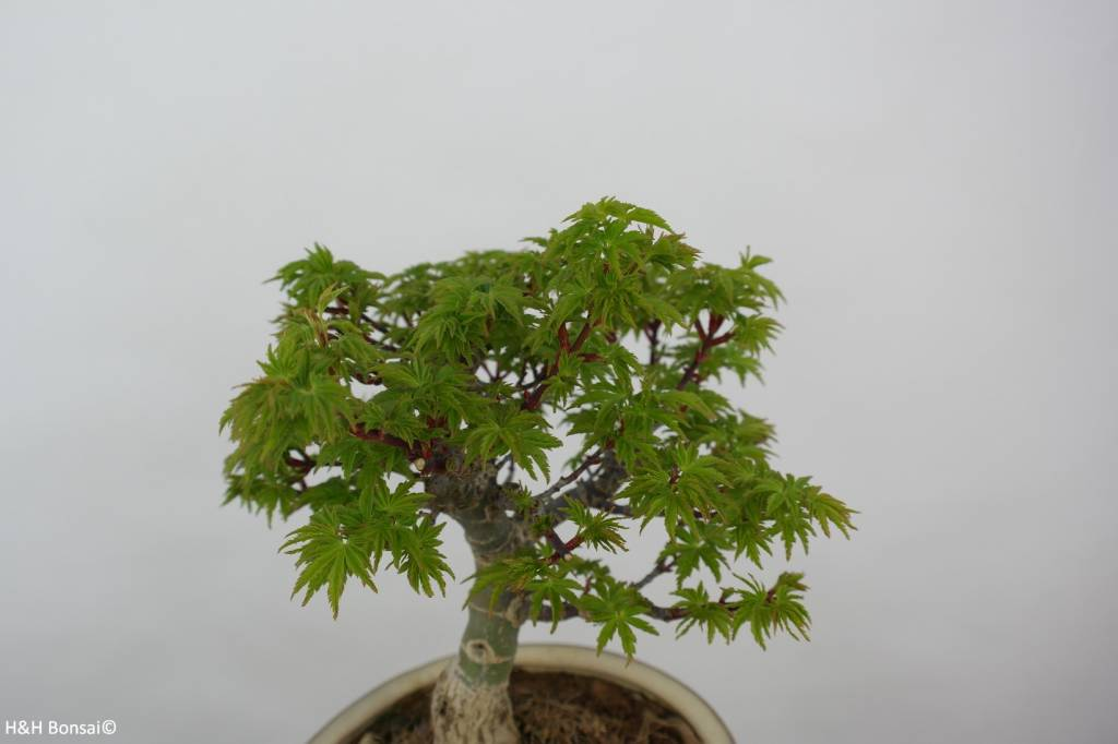 Bonsai Japanese maple shishigashira, Acer palmatum shishigashira, no. 6414