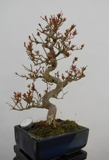 Bonsai Pomegranate, Punica granatum, no. 5812