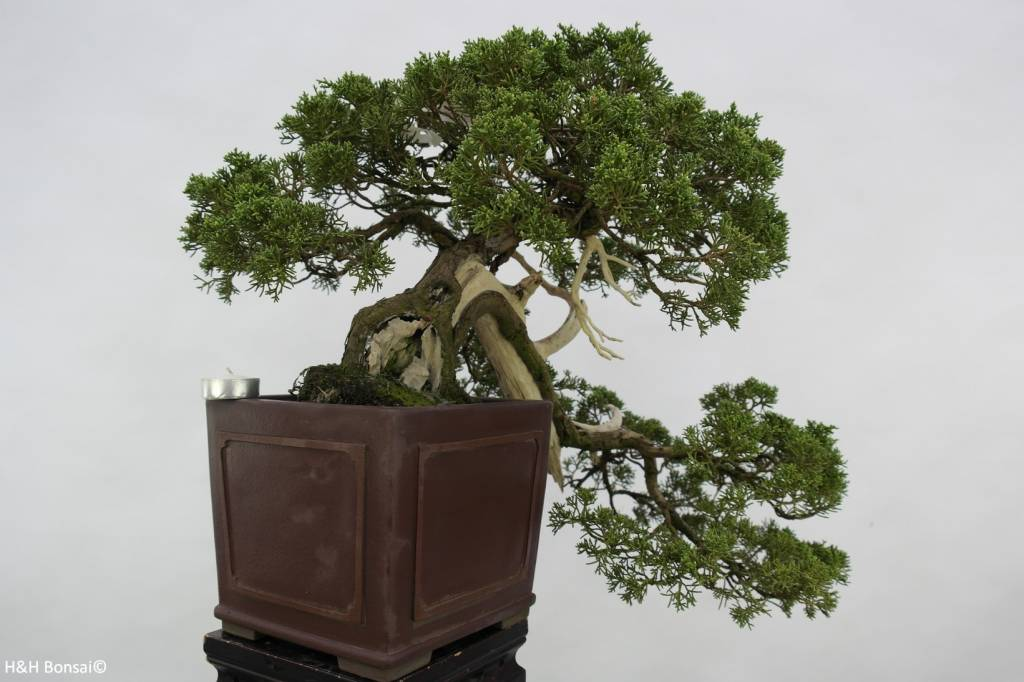 Bonsai Chinese Juniper, Juniperus chinensis, no. 5798