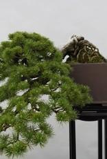 Bonsai White pine, Pinus parviflora, no. 5140