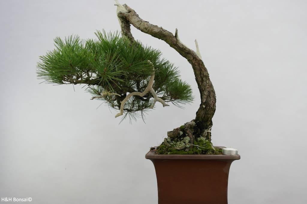 Bonsai Japanese Red Pine, cascade, Pinus densiflora, 5113