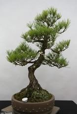 Bonsai Japanese Black Pine, Pinus thunbergii, no. 6431