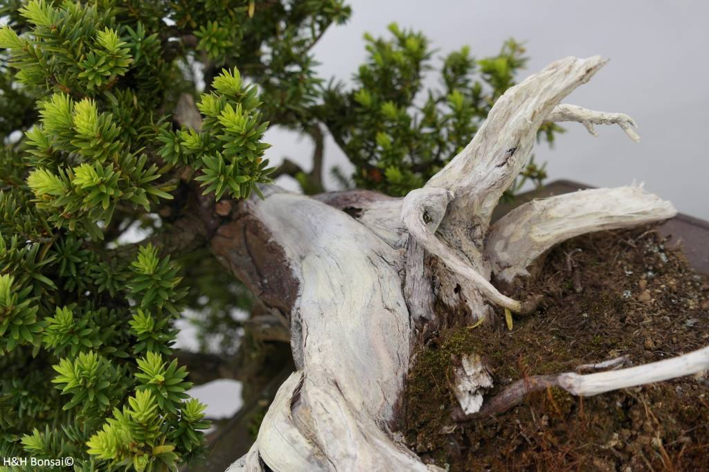 Bonsai Taxus cuspidata, cascade, no. 5175