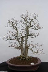 Bonsai Japanese beech, Fagus crenata, no. 6459