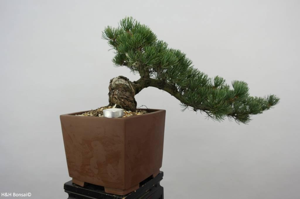 Bonsai Japanese White Pine, Pinus pentaphylla, no. 6475