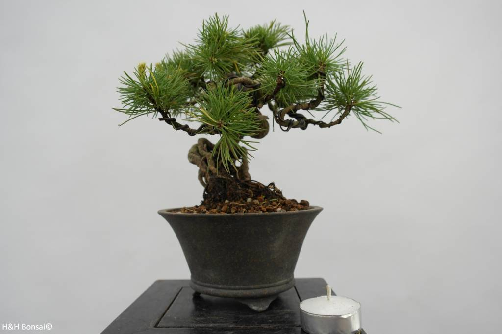 Bonsai Shohin White pine, Pinus parviflora, no. 6481