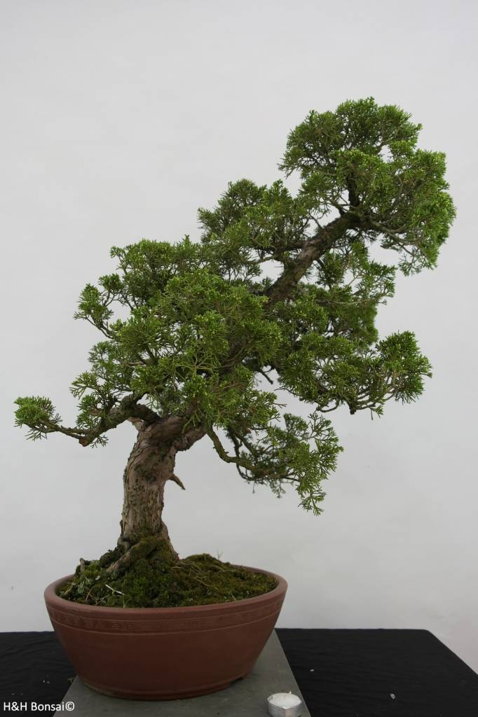 Bonsai Chinese Juniper, Juniperus chinensis, no. 6483