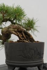 Bonsai Shohin White pine, Pinus parviflora, no. 6485