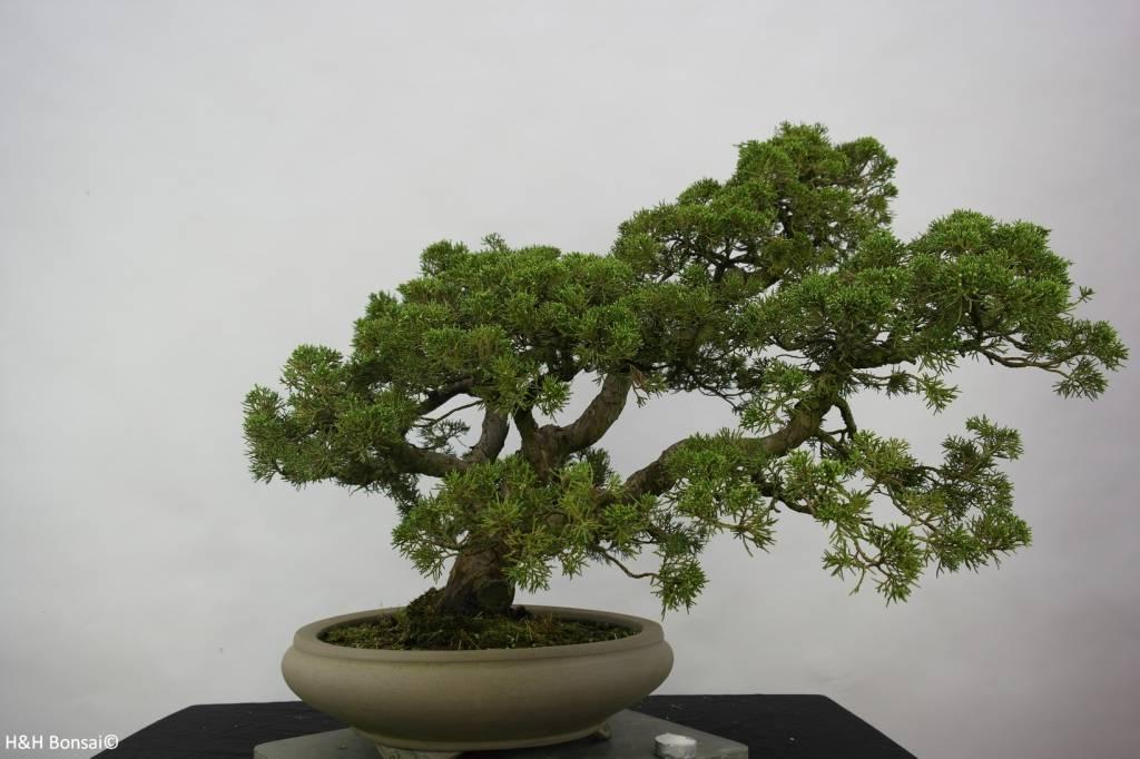 Bonsai Chinese Juniper, Juniperus chinensis, no. 6487