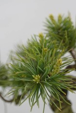 Bonsai Shohin White pine, Pinus parviflora, no. 6488