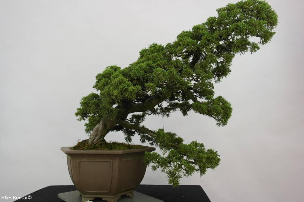 Bonsai Chinese Juniper, Juniperus chinensis, no. 6489