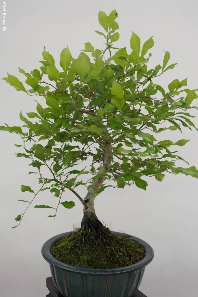 Bonsai Diospyros kaki, Lotus kaki, no. 5816