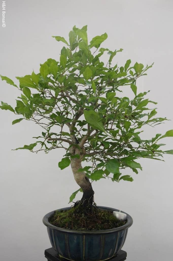 Bonsai Diospyros kaki, Lotus kaki, no. 5817