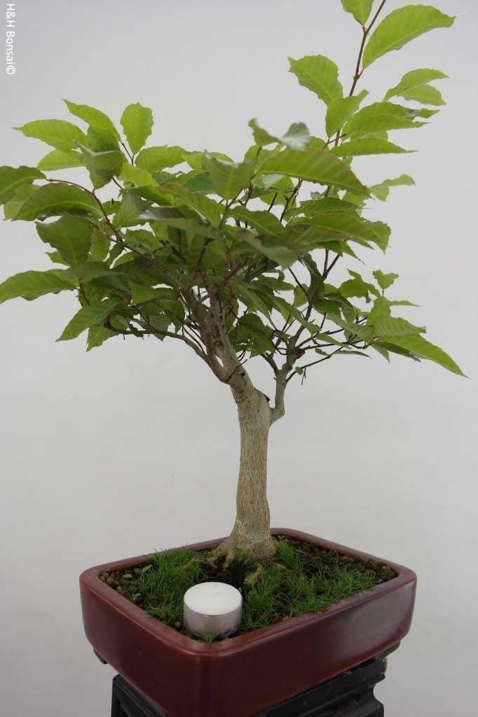 Bonsai Japanese beech, Fagus crenata, no. 6445
