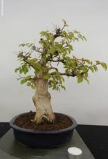 Bonsai Korean Hornbeam, Carpinus coreana, no. 5885