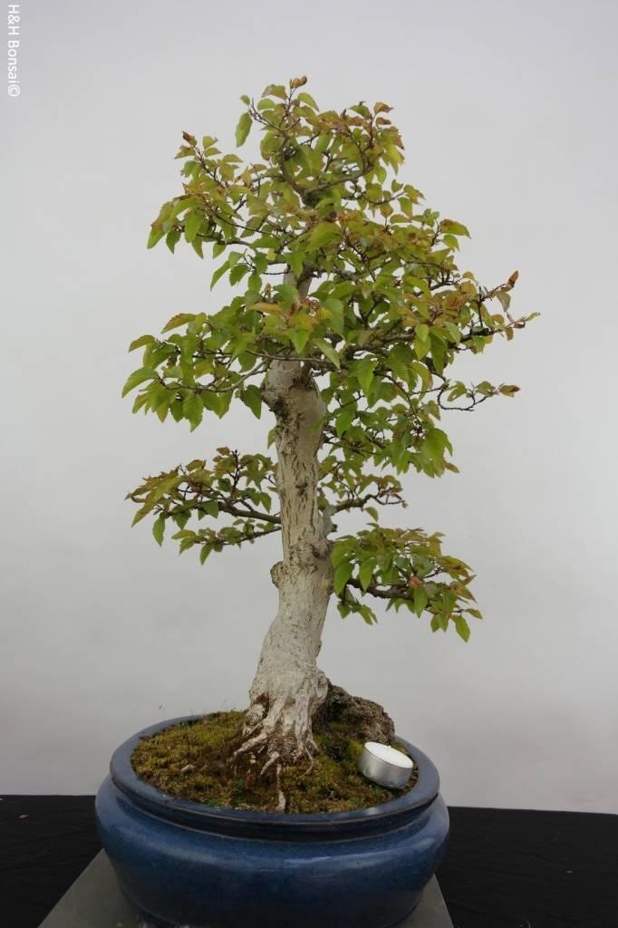 Bonsai Korean Hornbeam, Carpinus coreana, no. 5889