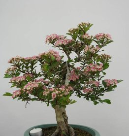 Bonsai Hawthorn, Crataegus cuneata, no. 6491