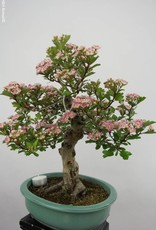 Bonsai Hawthorn, Crataegus cuneata, no. 6491