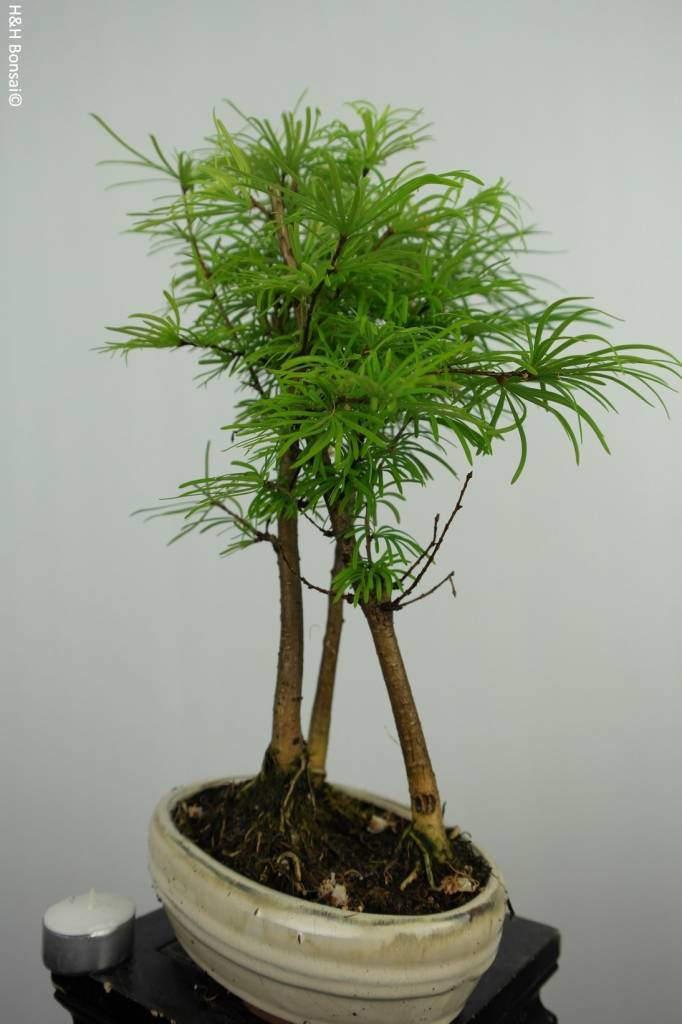 Bonsai Golden larch, Pseudolarix amabilis, no. 6209