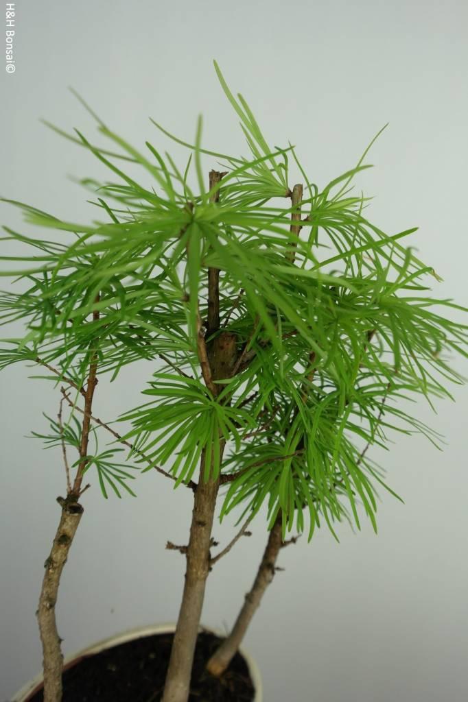 Bonsai Golden larch, Pseudolarix amabilis, no. 6351