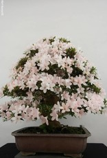 Bonsai Azalea SatsukiKozan, no. 5701