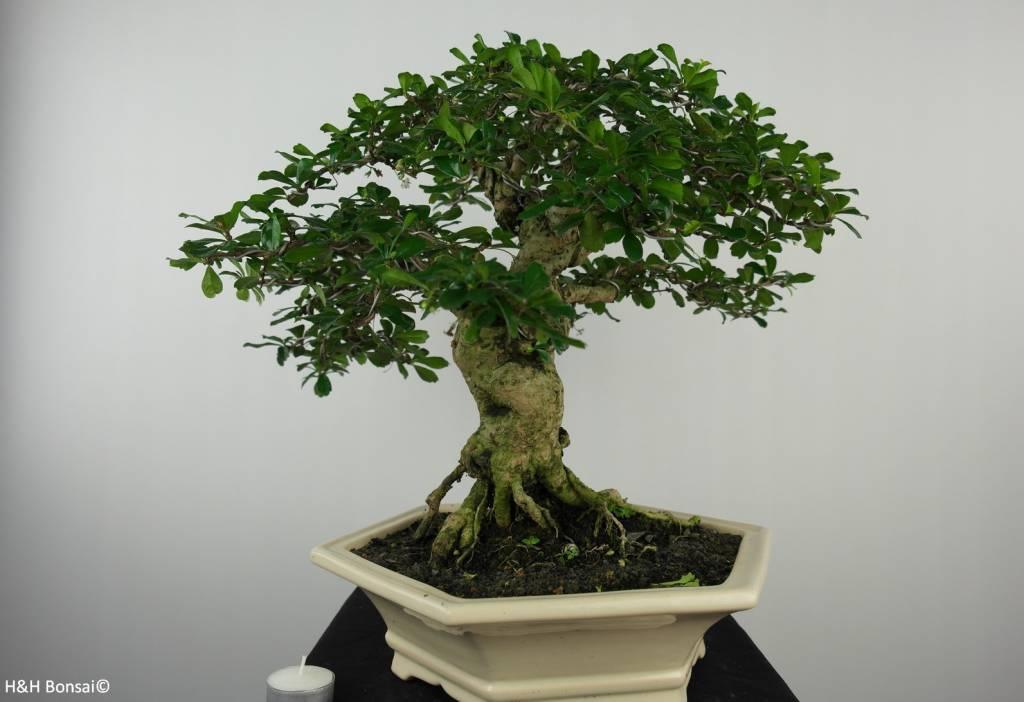Bonsai Fukien tea, Carmona macrophylla, no. 6505