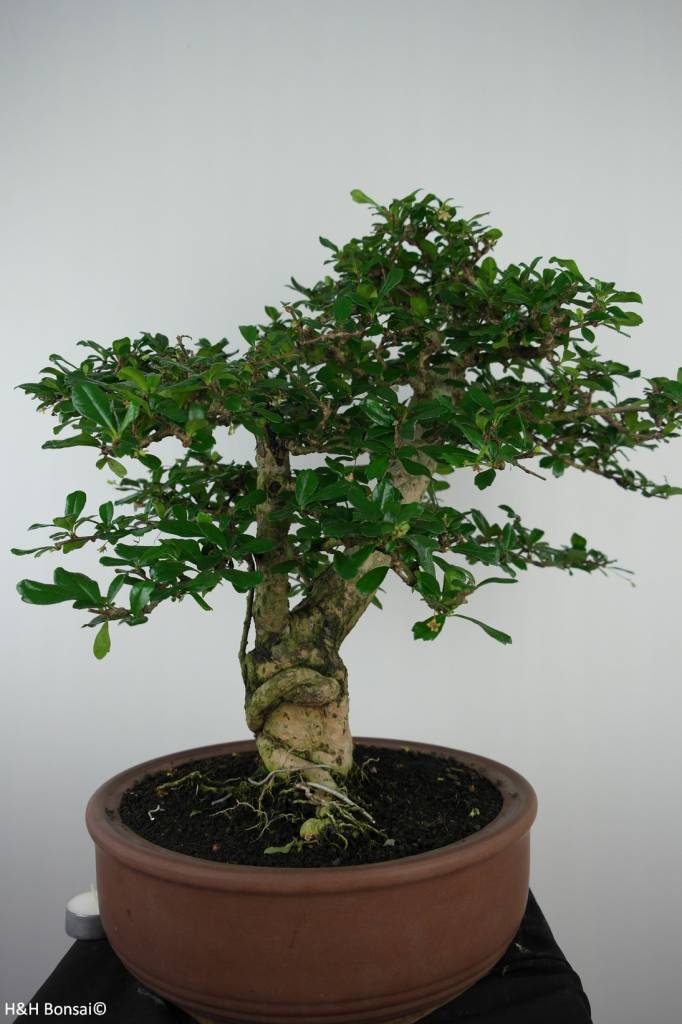 Bonsai Fukien tea, Carmona macrophylla, no. 6506