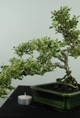Bonsai Snow Rose variegata, Serissa variegata, no. 6507