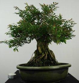 Bonsai Phyllanthus, no. 6514