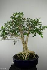 Bonsai Orange jasmine, Murraya sp., no. 6519