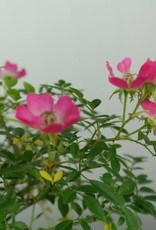 Bonsai Rose, Rosa sp., no. 6526