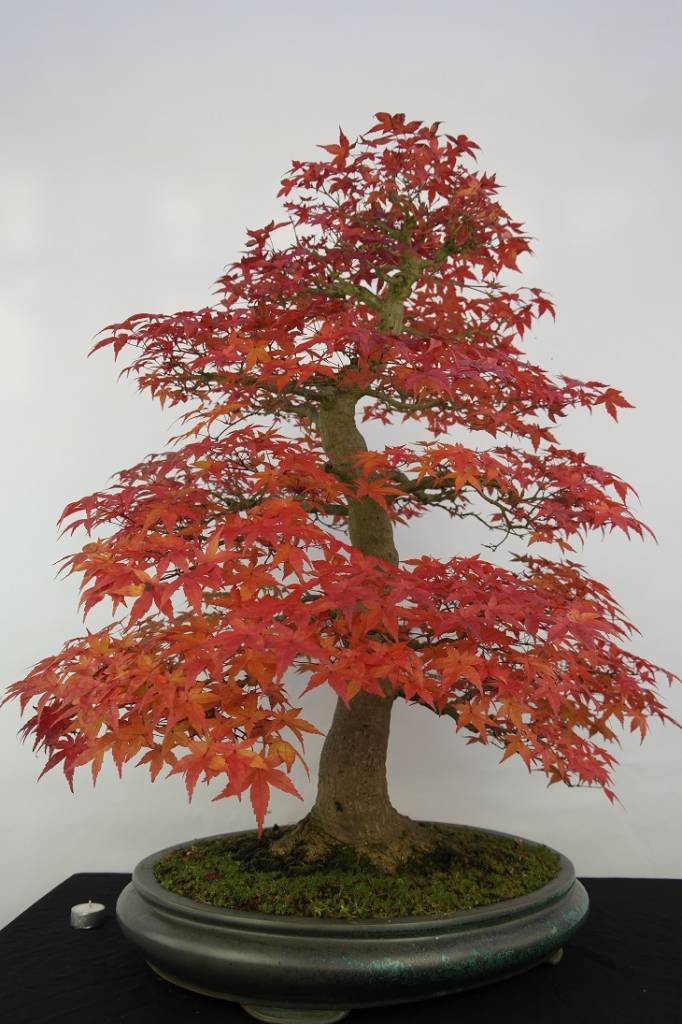 Bonsai Japanese Maple, Acer palmatum, no. 5231