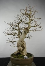 Bonsai Korean Hornbeam, Carpinus coreana, no. 5137